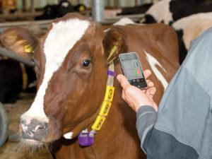 Автономная система распознавания охоты на 300 коров